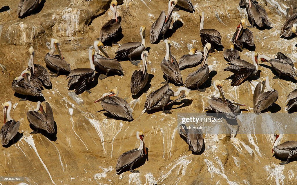 Pelicans are perched on the rocks against a backdrop of white excrement on the rocks surrounding La Jolla Cove in the seaside community of La Jolla January 2013. The birds are great to look at but the excrement left behind by the gulls, cormorants, pelicans and sea lions that perch on the rocks surrounding La Jolla Cove is causing a smelly mess concerning local businesses and homeowners JANUARY