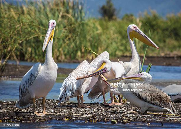 Pelicans at Lake Chamo, Ethiopia