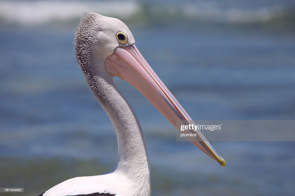 Pelican's beak close up Australia : Bildbanksbilder