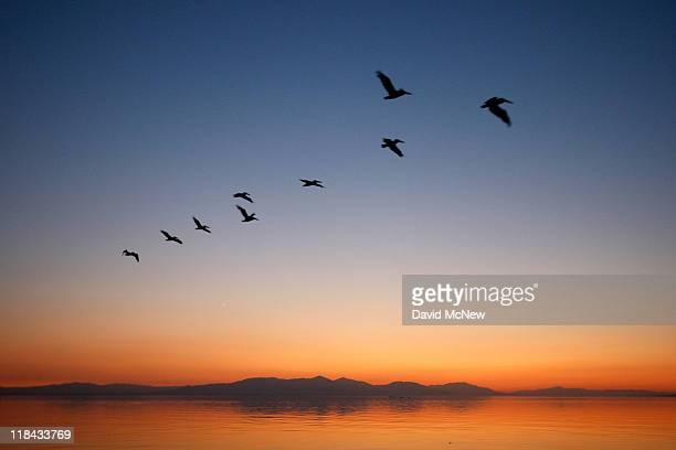 Pelicans fly to Mullet Island one of the four Salton Buttes small volcanoes on the southern San Andreas Fault after sunset on July 2 2011 near...