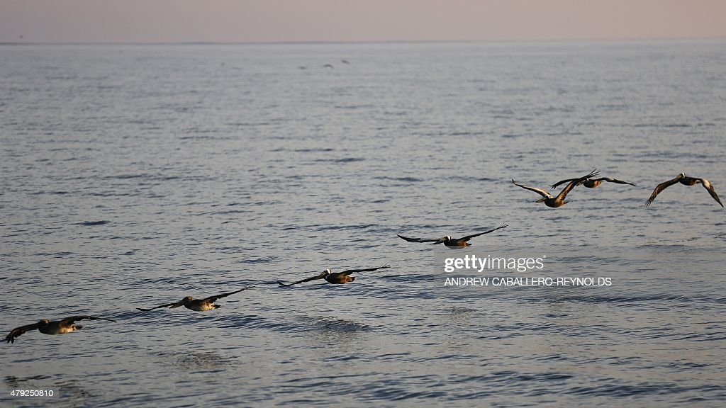 Pelicans follow the Omega Protein boat 'Reedvile' as it moves to a school of Menhaden fish off the coast of Smith Island in Virginia on June 22 2015...