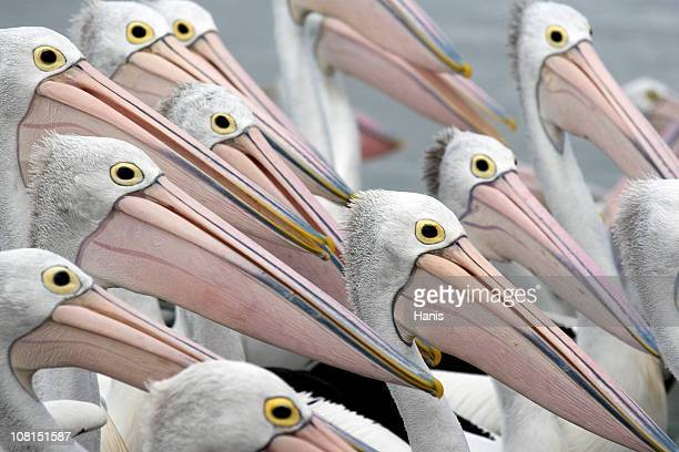 Pelicans in a group