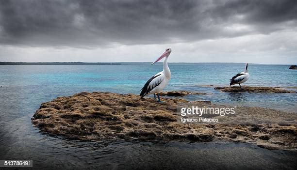 Pelicans in Jervis bay Booderee National Park