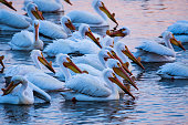 Many pelicans swimming, fishing, standing in the water.