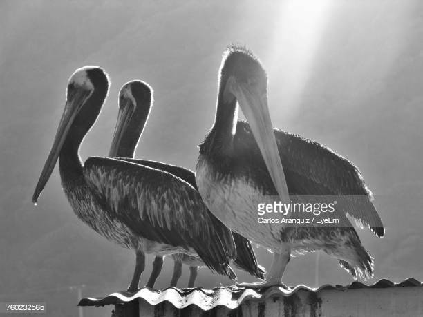 Pelicans Perching On Roof Bird During Sunny Day