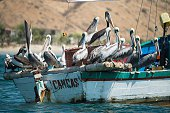 Pelicans rest on a fishing boat in the Canca cove in Tumbes northern Peru on July 13 2016 Overfishing has put in risk the subsistence of the 30000...
