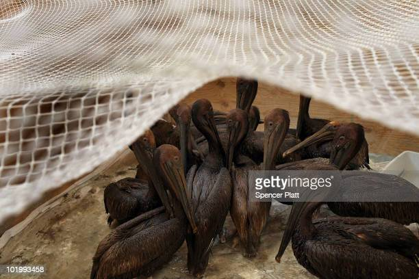 Pelicans with oil on them wait to be cleaned at the Fort Jackson Oiled Wildlife Rehabilitation Center on June 11 2010 in Buras Louisiana It is...