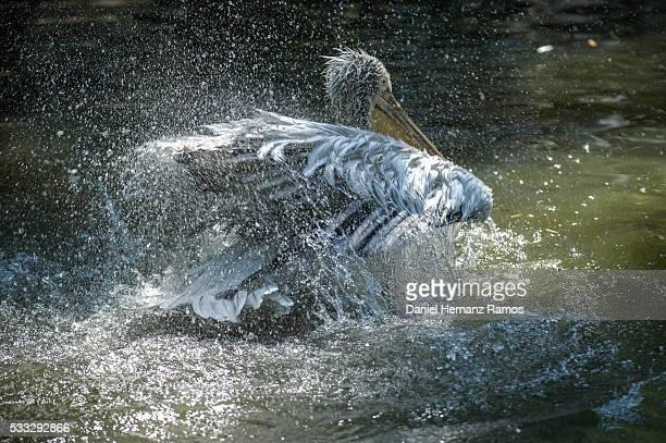 Pelikan in water