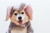 Pembroke welsh corgi dog in an elephant costu