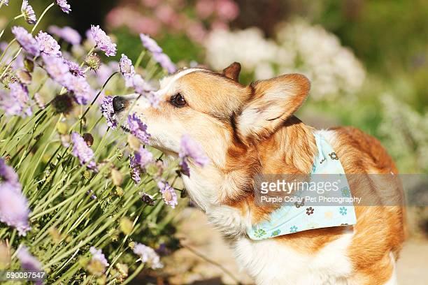 Pembroke Welsh Corgi Dog Smelling Flowers