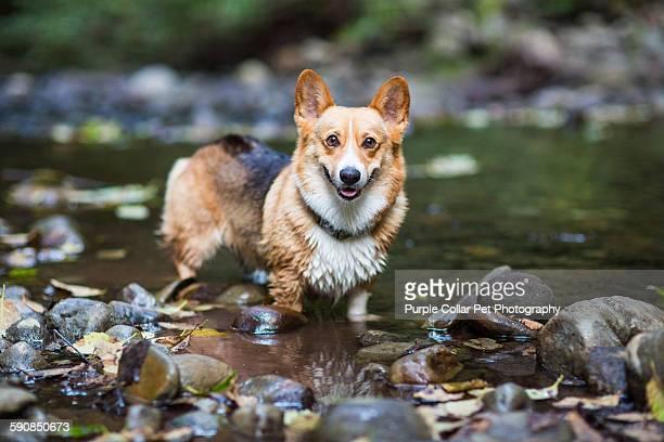 Pembroke Welsh Corgi Dog Standing in Shallow Creek