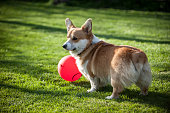 Pembroke Welsh Corgi playing with a red balloon facing away from the camera