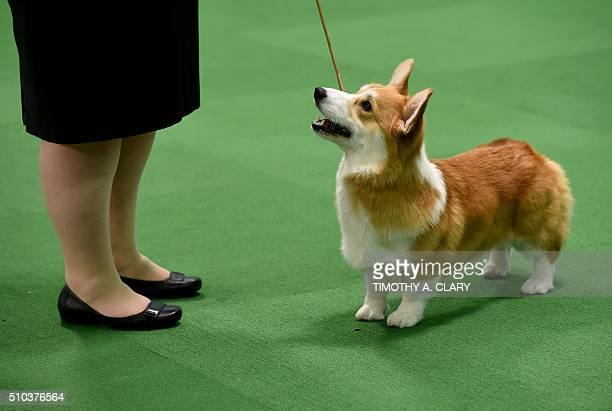 A Pembroke Welsh Corgi is seen in the judging area February 15 2016 in New York during the first day of competition at the Westminster Kennel Club...
