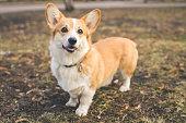 Dog Welsh Corgi posing outdoors