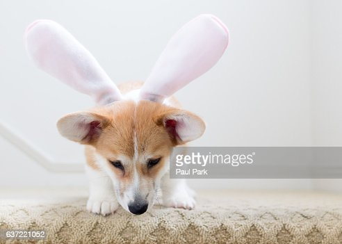 Pembroke welsh corgi puppy wearing bunny ears