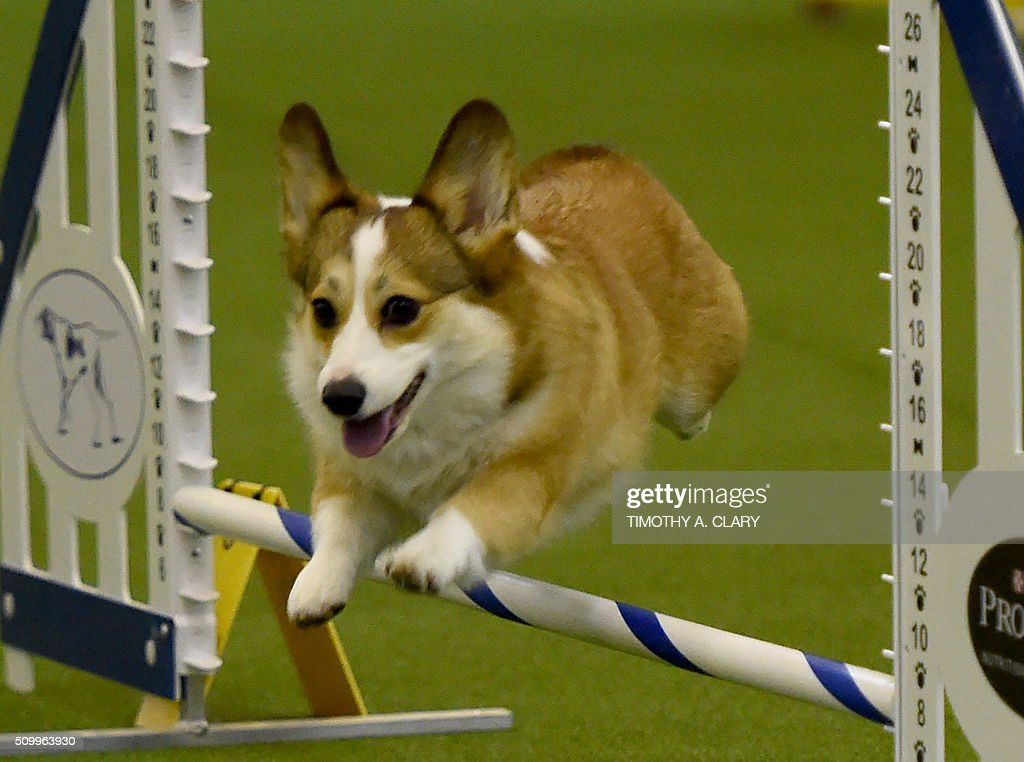 A Pembroke Welsh Corgi runs the agility course during the 3rd Annual Masters Agility Championship on February 13, 2016 in New York, at the 140th Annual Westminster Kennel Club Dog Show. Dogs entered in the agility demonstrate skills required in the challenging obstacles that they will need to negotiate. / AFP / Timothy A. CLARY