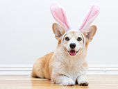Pembroke welsh corgi with bunny ears