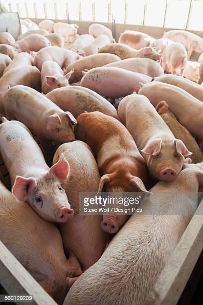 Pen full of pigs