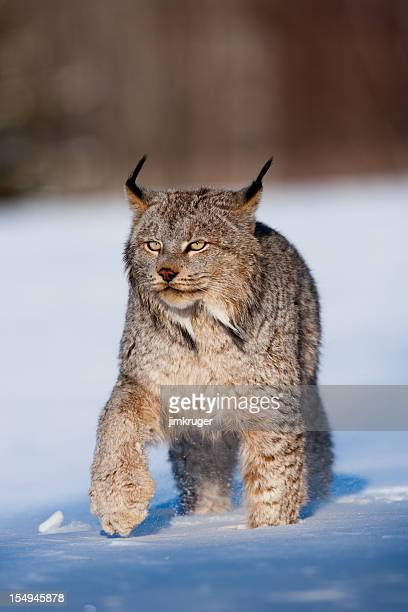 Penetrating stare of a Canadian Lynx in snowy wilderness.
