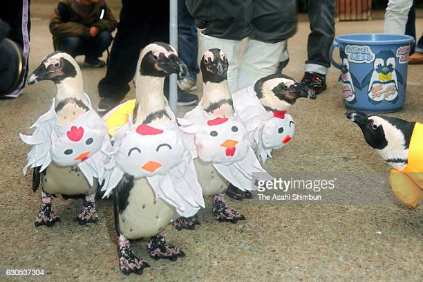 Pengiuns march with wearing costumes of rooster next year's zodiac sign at Matsue Vogel Park on December 26 2016 in Matsue Shimane Japan