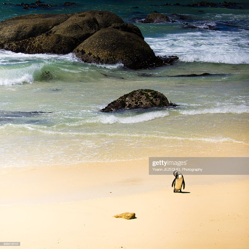 Penguin at Boulders beach : Photo