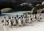 African penguins crowded together at Boulder's beach.