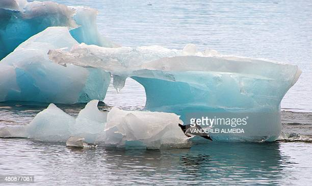 A penguin dives from an ice block in front of Brazil's Comandante Ferraz base in Antarctica on March 10 2014 AFP PHOTO / VANDERLEI ALMEIDA