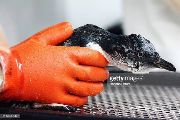 A penguin has oil washed off by staff at the Tauranga Wastewater Treatment Wildlife Facility on October 18 2011 in Tauranga New Zealand Salvage crews...