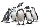 Group of cute penguin isolated on white background