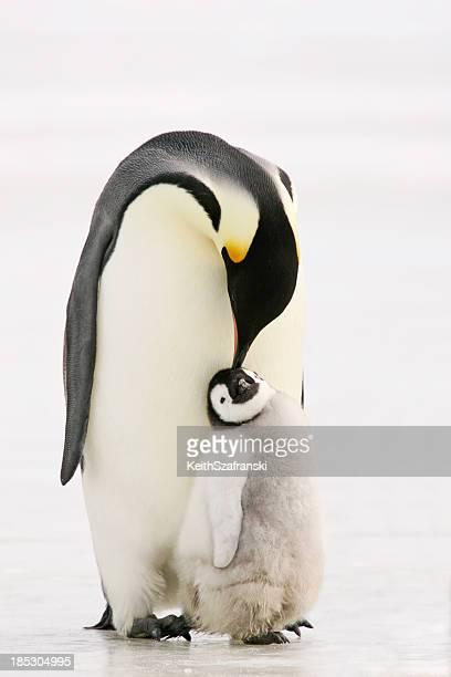 Penguin Peck