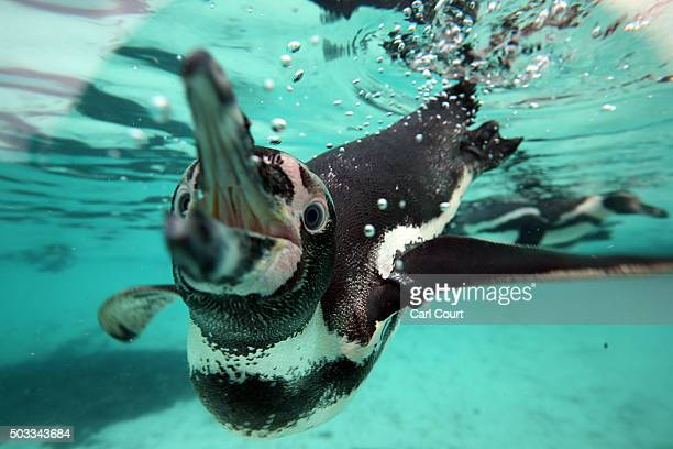 A penguin swims close to its tank wall during the annual stocktake of animals at ZSL London Zoo on January 4 2016 in London England The zoo's annual...
