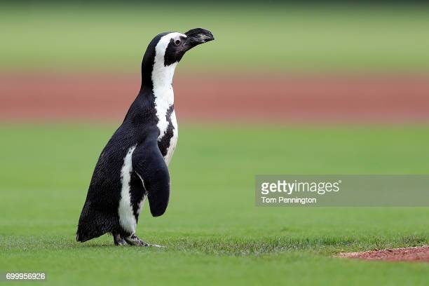 A penguin walks on the field before the Texas Rangers take on the Toronto Blue Jays at Globe Life Park in Arlington on June 22 2017 in Arlington Texas