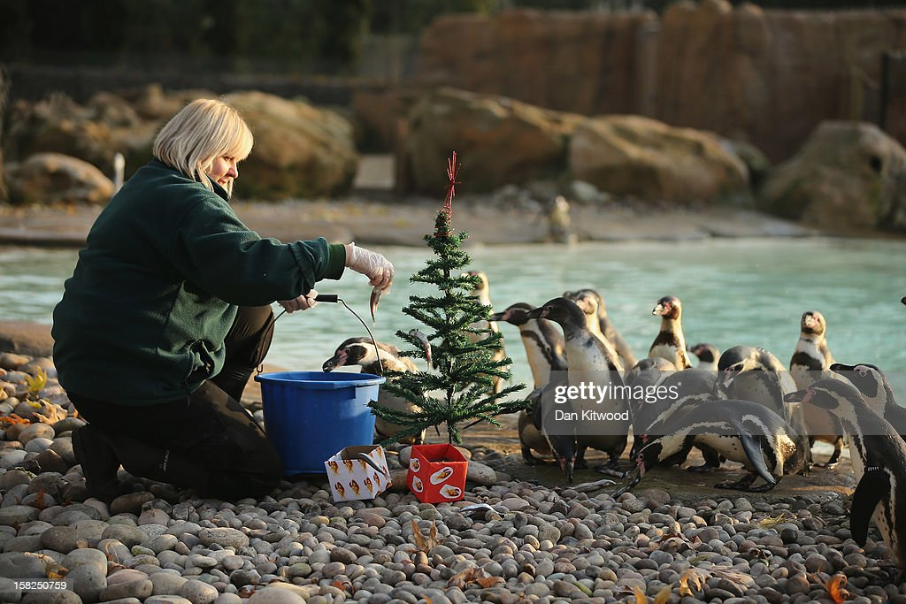 Penguins are fed next to a Christmas tree at ZSL London Zoo on December 12, 2012 in London, England. Keepers at the zoo gave the some of the animals Christmas presents and festive treats during a photocall at London Zoo.
