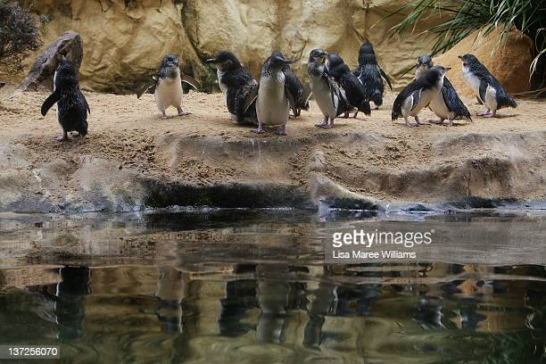 Penguins at Sydney Aquarium gather to welcome baby penguins being released by staff on January 18 2012 in Sydney Australia Three baby penguins were...