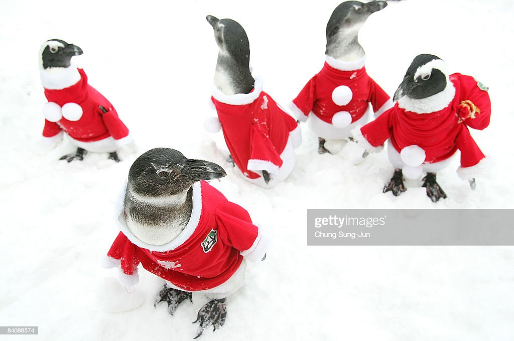 Penguins dressed in Santa Claus costumes are seen at Everland, South Korea's largest amusement park, on December 19, 2008 in Yongin, South Korea. Christmas has become increasingly popular over the years in South Korea, which is the only East Asian country to recognise Christmas as a national holiday.