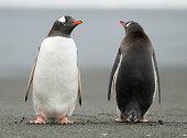 Gentoo penguins on South Georgia near Antarctica.