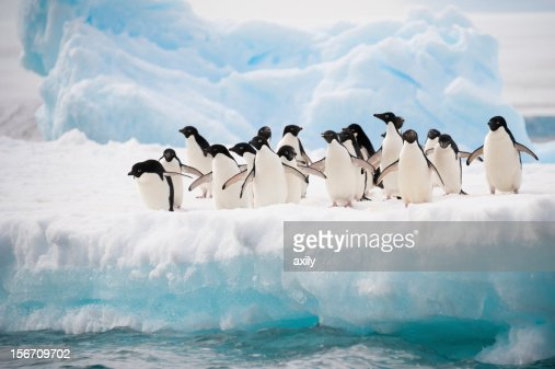Penguins on the snow : Stock Photo