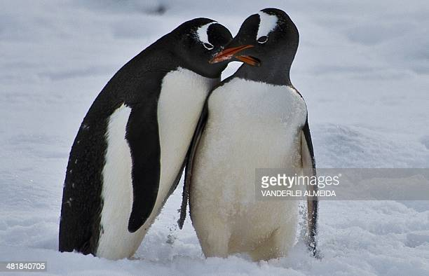 Penguins play before mating at Chile's military base Presidente Eduardo Frei in the King George island in Antarctica on March 13 2014 AFP PHOTO /...