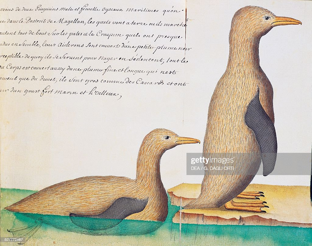 Penguins Strait of Magellan watercolor from the log book by Jacques Gouin de Beauchesne captain of the Compagnie royale de la Mer du Sud from 1698 to...