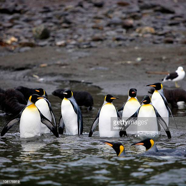 Penguins Walking into Water