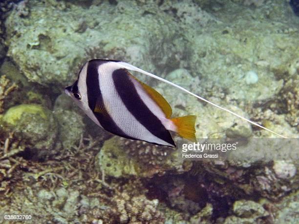 Pennant Coralfish a.k.a. Longfin Bannerfish