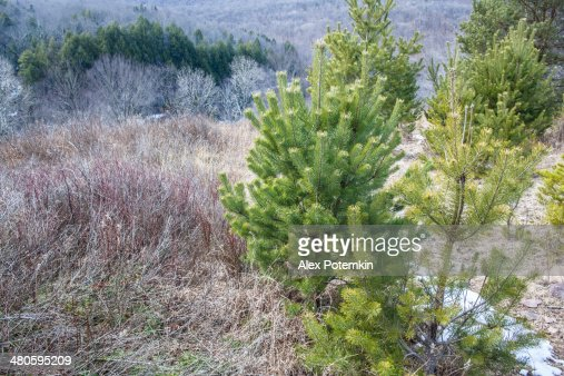 Pennsylvania, Poconos: mountain's forest at early spring : Stock Photo