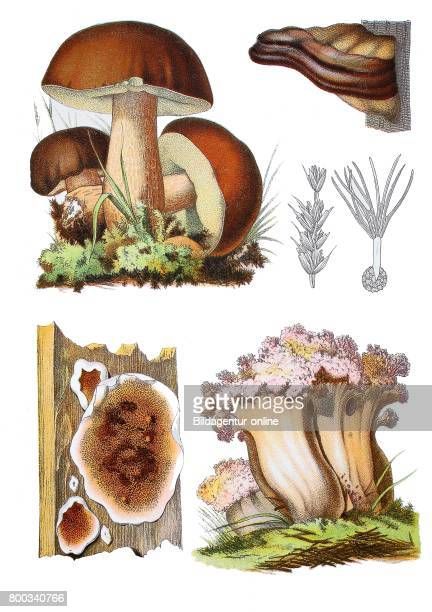Penny bun cep porcino Boletus edulis sstr clustered coral the pinktipped coral mushroom or the cauliflower coral Ramaria botrytis fungi that causes...
