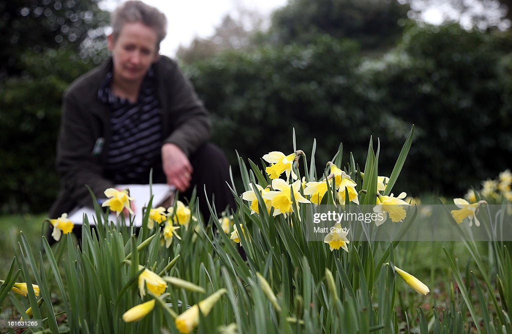 Penny Hammond, head gardener at the National Trust's Saltram House looks at some daffodils that have bloomed as she conducts the annual flower count ahead of Valentine's Day on February 12, 2013 in Plymouth, England. The flower count has been conducted by National Trust gardeners and volunteers in Devon and Cornwall each February since 2006 and latterly extended across many of its gardens right across the country. Despite the recent cold snap, it is hoped that the flower survey - released to time with Valentine's Day - will provide an annual snapshot of the heralding of spring, with gardeners and volunteers counting the different species and varieties in bloom in their gardens.