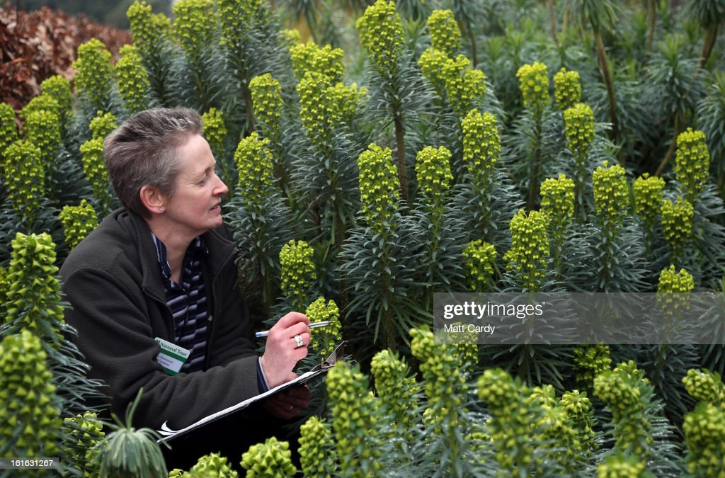 Penny Hammond, head gardener at the National Trust's Saltram House looks at some Euphorbia characias that have bloomed as she conducts the annual flower count ahead of Valentine's Day on February 12, 2013 in Plymouth, England. The flower count has been conducted by National Trust gardeners and volunteers in Devon and Cornwall each February since 2006 and latterly extended across many of its gardens right across the country. Despite the recent cold snap, it is hoped that the flower survey - released to time with Valentine's Day - will provide an annual snapshot of the heralding of spring, with gardeners and volunteers counting the different species and varieties in bloom in their gardens.