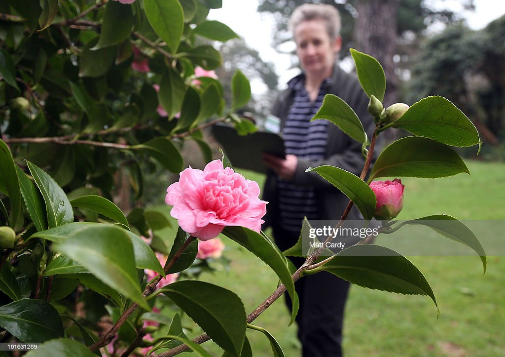 Penny Hammond, head gardener at the National Trust's Saltram House looks at some camellia x holfordiana that have bloomed as she conducts the annual flower count ahead of Valentine's Day on February 12, 2013 in Plymouth, England. The flower count has been conducted by National Trust gardeners and volunteers in Devon and Cornwall each February since 2006 and latterly extended across many of its gardens right across the country. Despite the recent cold snap, it is hoped that the flower survey - released to time with Valentine's Day - will provide an annual snapshot of the heralding of spring, with gardeners and volunteers counting the different species and varieties in bloom in their gardens.
