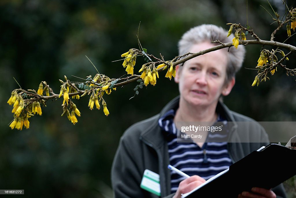 Penny Hammond, head gardener at the National Trust's Saltram House looks at some Sophora microphylla or Sun King flowers that have bloomed as she conducts the annual flower count ahead of Valentine's Day on February 12, 2013 in Plymouth, England. The flower count has been conducted by National Trust gardeners and volunteers in Devon and Cornwall each February since 2006 and latterly extended across many of its gardens right across the country. Despite the recent cold snap, it is hoped that the flower survey - released to time with Valentine's Day - will provide an annual snapshot of the heralding of spring, with gardeners and volunteers counting the different species and varieties in bloom in their gardens.