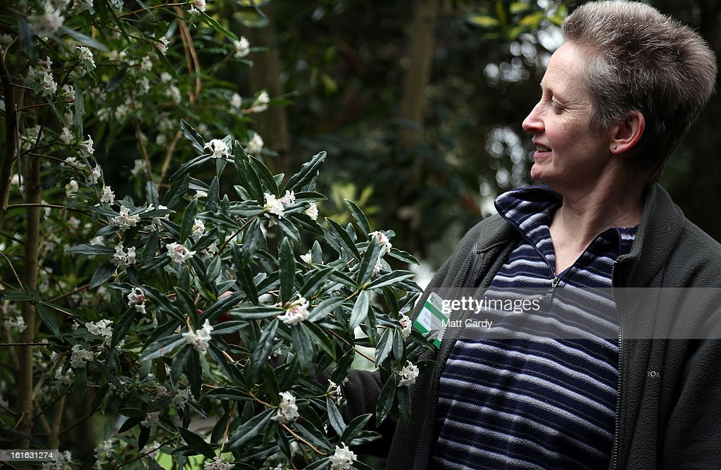 Penny Hammond, head gardener at the National Trust's Saltram House looks at a Daphne bholua alba plant that has bloomed as she conducts the annual flower count ahead of Valentine's Day on February 12, 2013 in Plymouth, England. The flower count has been conducted by National Trust gardeners and volunteers in Devon and Cornwall each February since 2006 and latterly extended across many of its gardens right across the country. Despite the recent cold snap, it is hoped that the flower survey - released to time with Valentine's Day - will provide an annual snapshot of the heralding of spring, with gardeners and volunteers counting the different species and varieties in bloom in their gardens.
