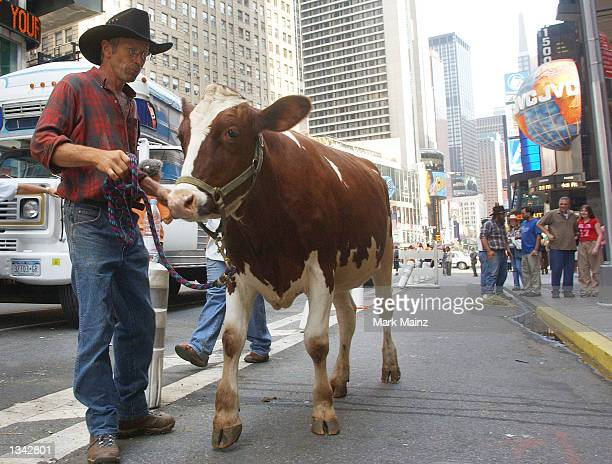 Penny the cow from the Keziah Lain Farm in Orange County is led away by owner Marty Lain August 19 2002 in Time Square New York City Penny the cow...