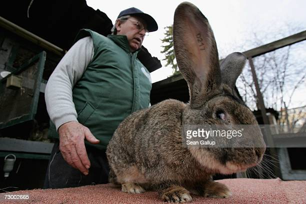 Pensioner Karl Szmolinsky who raises a breed of rabbits called giant grays shows Robert 2 an 85kg giant grey who is 74cm long and has ears 255cm long...